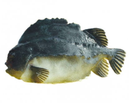 冰岛海参斑1400-1600g